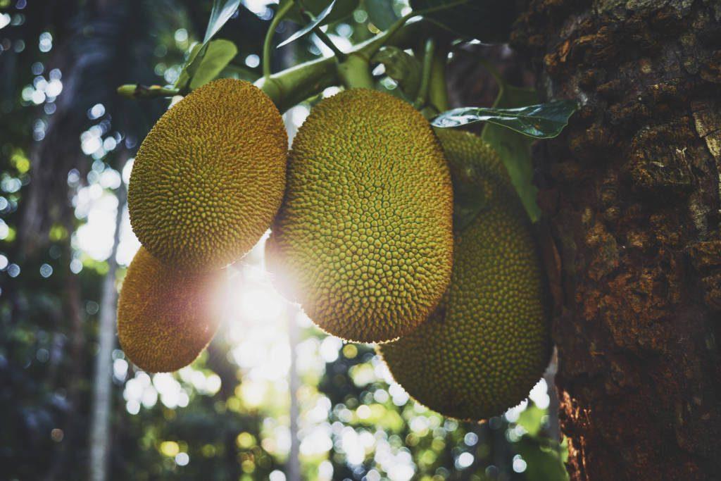 Ulpotha jackfruit tree