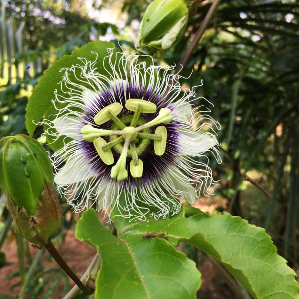 Ulpotha garden passion fruit flower
