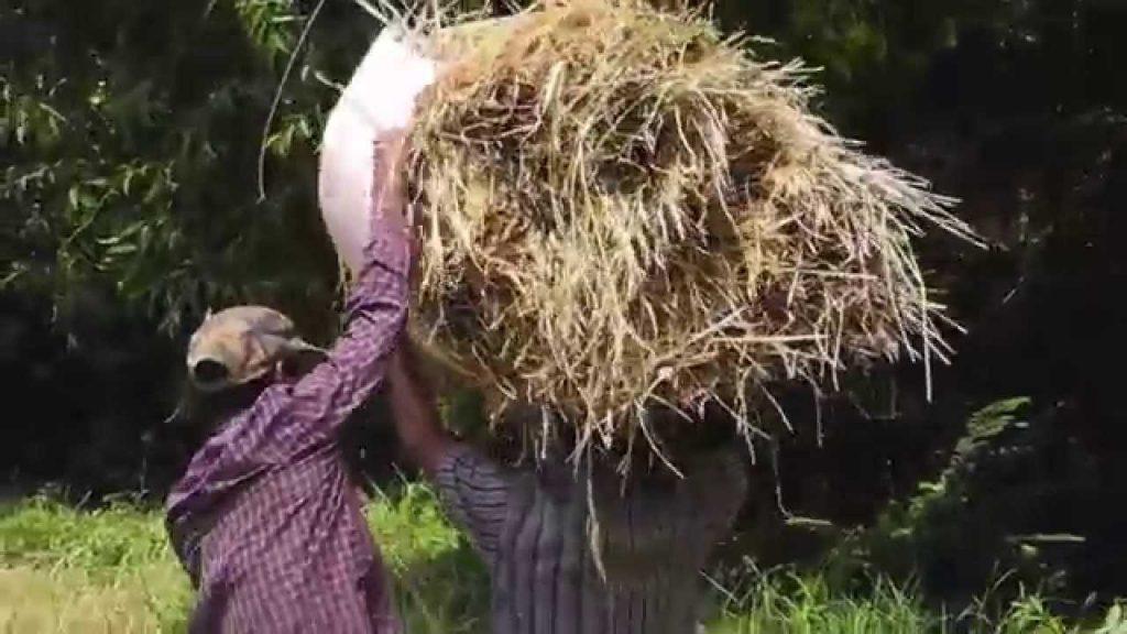 Traditional Rice Farming In Sri Lanka